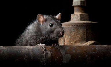 get rid of rat