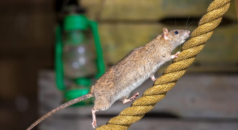 rat on rope