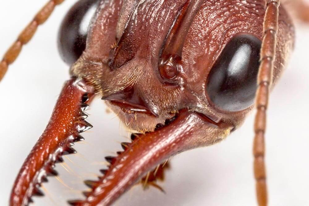Bull Ant Head Closeup