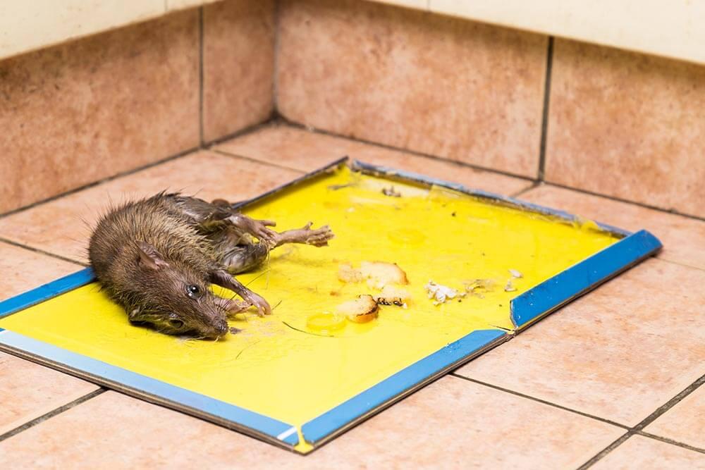 dead rat on sticky board