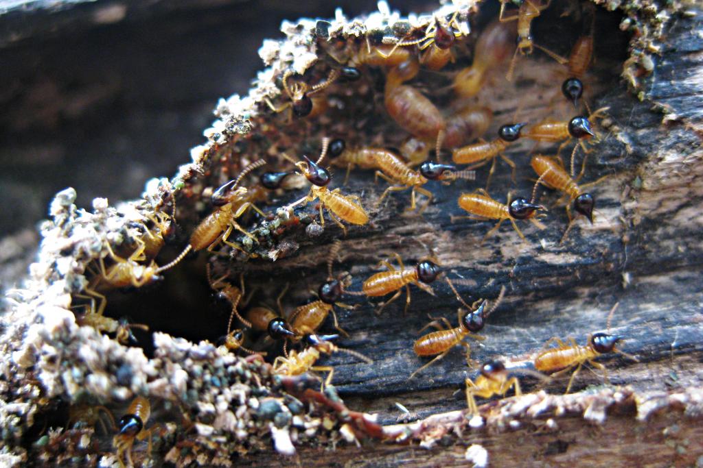 Termites-01