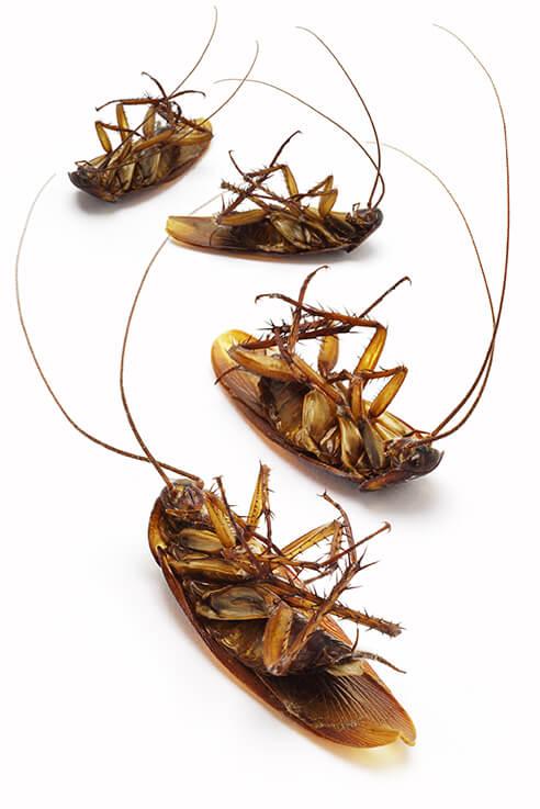 4 dead cockroaches