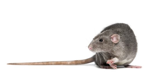 Rat in front of a white background