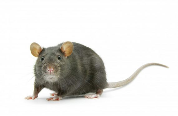 Rat with a clear background
