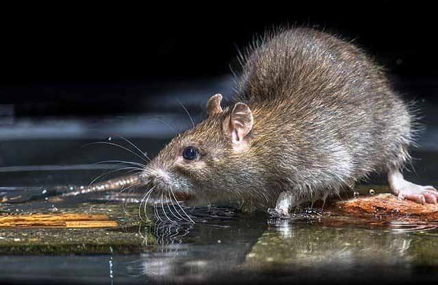 rat-06